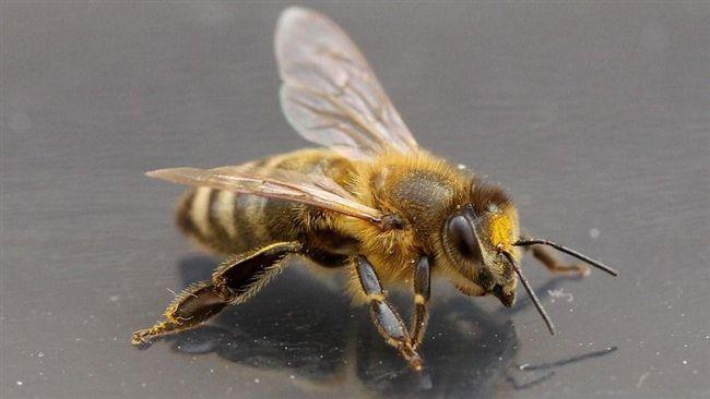 北半球蜜蜂離奇消失!愛因斯坦:牠若滅絕,人類頂多活4年