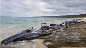 擱淺,澳洲,伯斯,領航鯨 圖/翻攝cbsnews