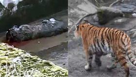 老虎,相親,受種,丹麥,哥本哈根,Copenhagen,Lars Holse,動物園,咬死,攻擊 圖/翻攝自EkstraBladet https://goo.gl/XBs5A3