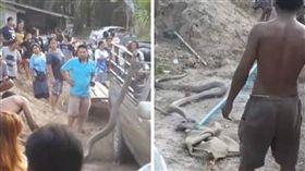泰國,貓頭鷹,蛇,眼鏡王蛇,獵食(圖/翻攝自Dechathorn Sangsupt YouTube)