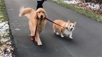 美國,黃金獵犬,阿金,柯基,遛狗,狗,Winston,Brody,牽繩(圖/翻攝自winston_adventure_pup IG)