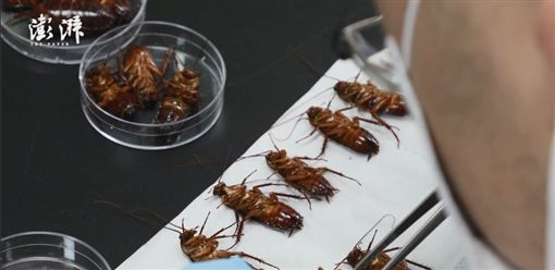 蟑螂(圖/翻攝自澎湃新聞)