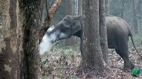 大象在森林裡「吞雲吐霧」,彷彿像是在抽菸(圖/翻攝自YouTube)