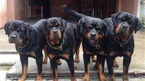 羅威納犬,羅威那犬_Rottweiler粉絲專頁