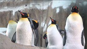 吃到吃不下為止!國王企鵝換羽期狂吃 增胖卡哇伊