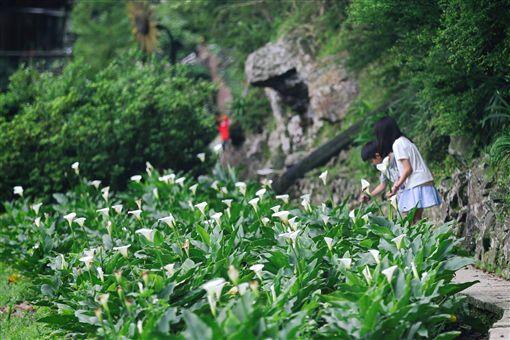 陽明山竹子湖海芋季。(圖/翻攝自海芋季FB)