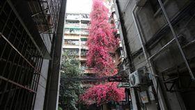 中國大陸,廣州,雲苑新村,勒杜鵑,杜鵑花,瀑布(圖/微博)