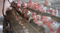 彰化蛋雞場驗出芬普尼(2)彰化縣蛋雞場遭驗違法使用芬普尼,其中連成牧場登記地址已沒有養雞,曾姓負責人另外在竹塘鄉租用養雞場飼養蛋雞。中央社記者吳哲豪彰化攝  106年8月22日