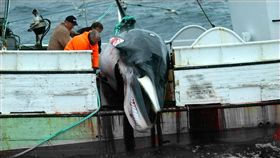 鯨魚,獵鯨(圖/推特 https://twitter.com/orca_waves/status/976152185259151361)