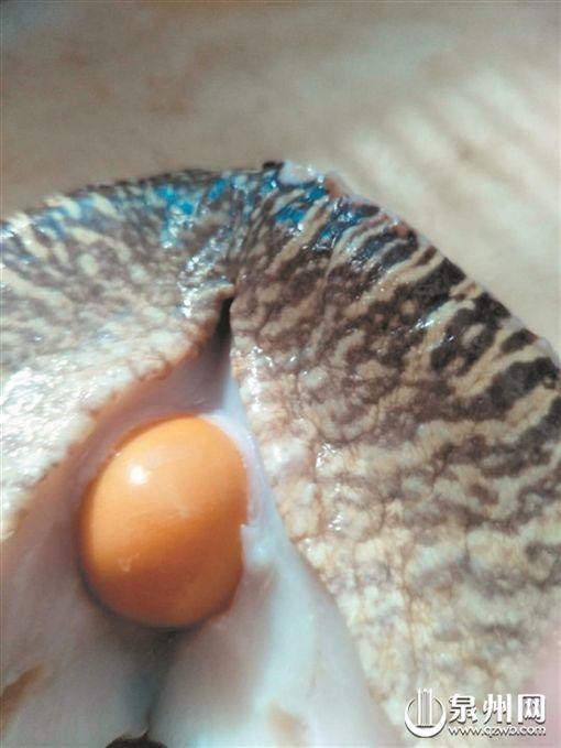 剖黃螺當下酒菜 見3顆「美樂珠」!他卯死至少賺8千萬圖/翻攝自陸媒泉州網