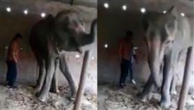 印度一頭母象遭非法轉賣、施虐。(組合圖/翻攝自Daily Mail)