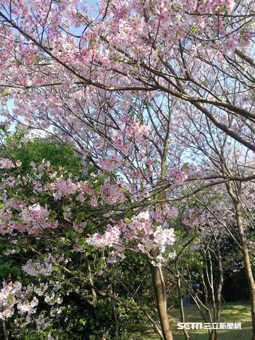 士林官邸玫瑰花季/陽明山吉野櫻 北市工務局提供
