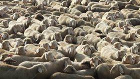 澳洲,綿羊,船隻,熱死,中東,伯斯卡達,科威特,阿拉伯,農民,生計,動物,畜牧 圖/翻攝自Pixabay https://goo.gl/okU3LW