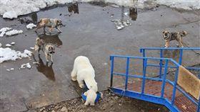 北極熊,狗糧,生存,暖化,俄羅斯,Vladimir Melnik,研究員,狗, 圖/翻攝自視覺中國