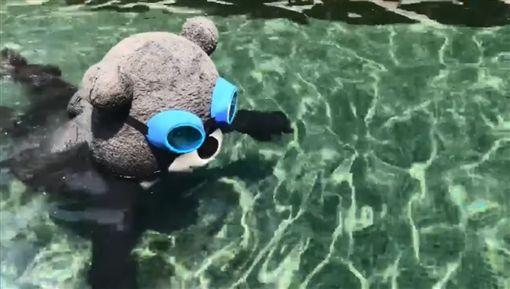 北市吉祥物的熊讚為了回山林做準備,在游泳池大秀「熊蛙式」,姿勢看起來相當標準,不過有眼尖的網友發現亮點,直呼「沒有穿泳褲,這樣不行啊!」(圖/翻攝自熊讚Bravo臉書)