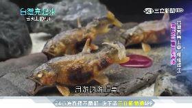 受日本三星主廚青睞 台灣香魚出頭天