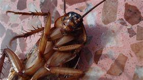 蟑螂,小強,中毒,發燒,嘔吐,腹瀉,胃痛(圖/翻攝pixabay.com)