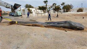 生態悲歌!鯨魚誤食32公斤人類垃圾 引發腹膜炎暴斃死亡