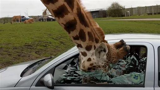 英國野生動物園長頸鹿頭伸車內討食物,駕駛關窗玻璃突炸裂(圖/翻攝自YouTube)
