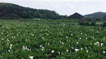 海芋,竹子湖,採海芋(記者郭奕均攝影)