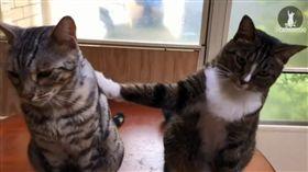 貓,貓砂,陽台,兇手,背叛,出賣,拍肩(圖/翻攝自catmantoo IG)