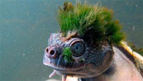 Rikki Gumbs,ZSL,Mary River turtle,隱龜,澳洲,短頸龜,絕種,爬蟲類 圖/翻攝自推特 https://goo.gl/zqWk8b