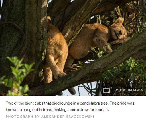 無人性!烏干達8野生幼獅遭毒殺 名攝影淚崩非洲,烏干達,伊莉莎白女王國家公園,國家地理頻道,野生獅,下毒,毒殺https://goo.gl/Fx2VND
