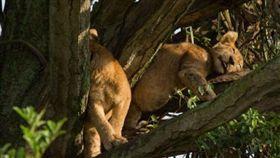 無人性!烏干達8野生幼獅遭毒殺 名攝影淚崩 非洲,烏干達,伊莉莎白女王國家公園,國家地理頻道,野生獅,下毒,毒殺 https://goo.gl/Fx2VND