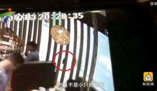 大陸廣東深圳市一名顧客到火鍋店用餐時驚見老鼠,老鼠直接跳進火鍋裡,嚇得在場的顧客驚慌失措。業者起初拒絕打折、免費,後來引起輿論抨擊,老闆才全額退款,還無奈地說「我心情很不好」。(圖/翻攝自梨視頻)