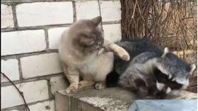 郎有情妹無意!浣熊想牽牽小手 慘遭貓皇「賞巴掌」拒絕