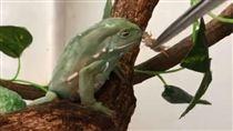 主人難得餵食 樹蛙:就是餓死也不吃 (圖/翻攝自-益生菌-微博)