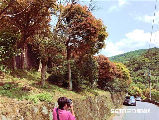 台北士林菁山槭樹。(圖/北市大地處提供)