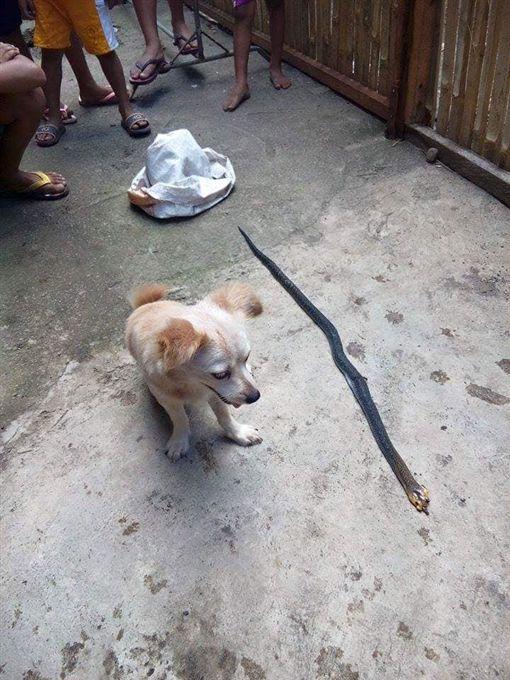 菲律賓毛小孩咬死眼鏡蛇後身亡_News5 Features臉書