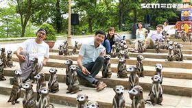 六福村動物派對,狐獴。(圖/六福村提供)