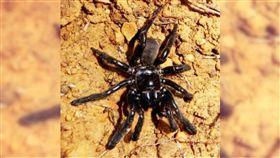 螲蟷,老化,trapdoor matriarch,蜘蛛,Number 16,墨西哥,澳洲 圖/翻攝自Curtin University