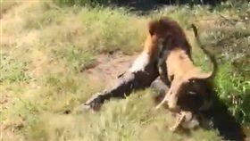 動物園長突遭獅襲 狠咬拖行奇蹟生還 南非,塔巴津比,野生,動物,Mike Hodge,獅子,襲擊 https://www.thesun.co.uk/news/6183196/lion-attack-british-safari-owner-video-makarele-south-africa/