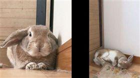 寵物,兔子,秒睡,推特,萌,毛小孩, 可愛/翻攝自goen0414 Twitter