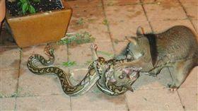 母愛的偉大!小孩遭蟒蛇攻擊…牠不畏劇毒跳上身擊退