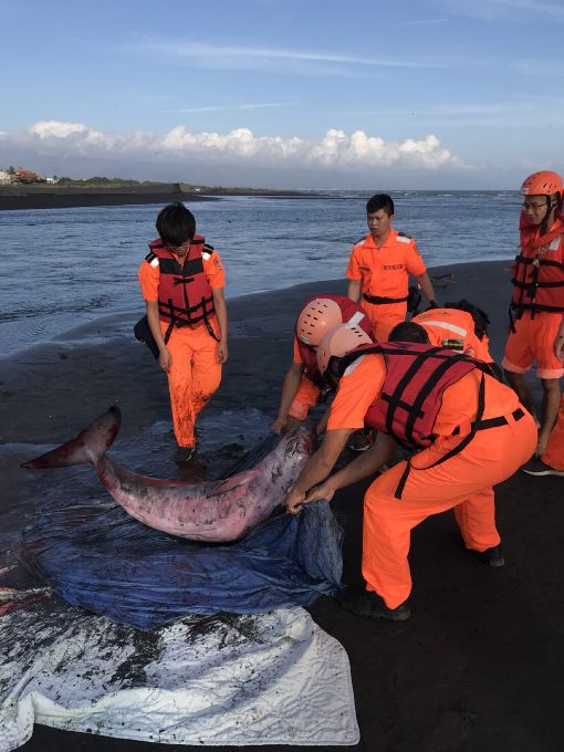 林邊溪出海口再發現抹香鯨擱淺(2)屏東林邊溪出海口6日再發現一隻侏儒抹香鯨擱淺,海巡人員獲報後趕往搶救,送至成大鯨豚研究中心,可惜這隻侏儒抹香鯨仍在7日下午不幸因心肺衰竭死亡。(海巡署南部分署第五岸巡隊提供)中央社記者郭芷瑄傳真  107年5月7日