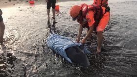 海巡搶救擱淺抹香鯨(2)