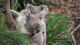 澳洲,Gladys Berejiklian,新南威爾斯,無尾熊,動物,保育,New South Wales 圖/翻攝自Pixabay https://goo.gl/GNYekX