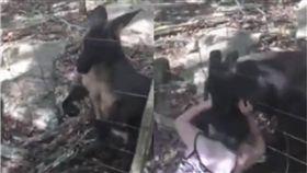 影/動物園挑釁袋鼠!女童慘遭袋鼠咬爛耳朵 送醫縫14針 圖/翻攝自youtube