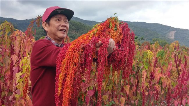 台灣紅藜營養高 搖出生活新體驗