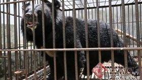 中國大陸一名飼主誤以為自己養了小藏獒,結果長大後竟是一隻黑熊(圖/翻攝自微博)
