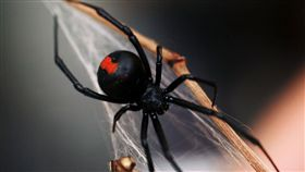 紅背蜘蛛,Latrodectus hasselti(圖/翻攝維基百科)