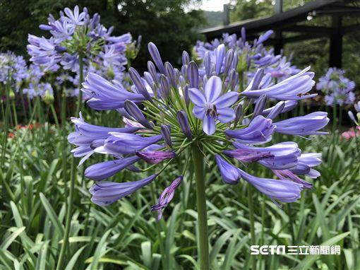 內雙溪自然中心,藍紫色愛情花(圖/北市大地處提供)