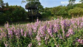 內雙溪自然中心,粉紫小天使(圖/北市大地處提供)