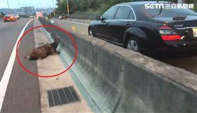 彰化一名林姓駕駛行經台74線中彰快速道路、彰化市東外環北上路段時,一隻水鹿突然橫跨車道,駕駛因閃避不及不小心撞上,汽車車頭當場凹陷,水鹿則後腿骨折,目前已被動物防疫所帶回治療。(圖/翻攝畫面)