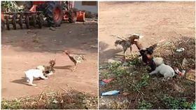 狗,雞,打架(圖/翻攝自臉書YouLike คลิปเด็ด)