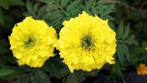 忌避植物萬壽菊。